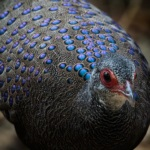 Germain's Peacock-Pheasant