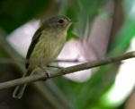 Buff-breasted Tody-tyrant