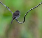 Olive-chested Flycatcher