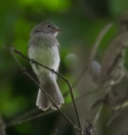Grey-breasted Flycatcher