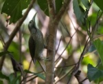 Makira Honeyeater