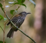 Rufous-backed Honeyeater
