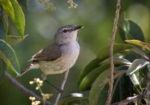 Fan-tailed Gerygone