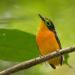 Yellow-bellied Wattle-eye