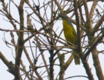 Green-breasted Bushshrike