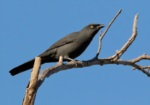 South Melanesian Cuckooshrike
