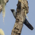 Black-bellied Cuckooshrike