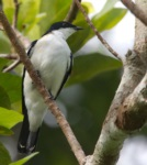 Black-browed Triller