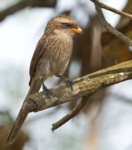 Yellow-billed Shrike