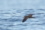 Heinroth's Shearwater