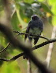 White-bellied Fantail