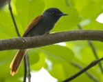 Rufous-vented Paradise Flycatcher