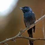 Sao Tome Paradise Flycatcher