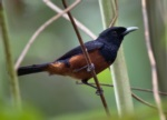 Chestnut-bellied Monarch