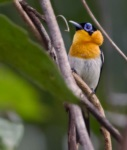 Ochre-collared Monarch