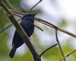 Biak Black Flycatcher