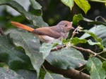 Chestnut-capped Flycatcher