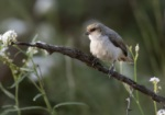 Mouse-colored Penduline Tit