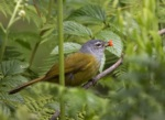 Mountain Greenbul