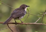 Northern Pied Babbler