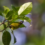 Bismarck White-eye