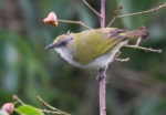 Biak White-eye