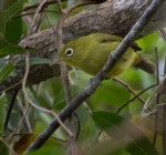 Louisiade White-eye