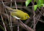 Small Lifou White-eye