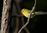 Green-backed White-eye