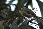 Cream-browed Ibon (Yellow-browed Dark-eye)