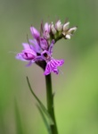 Early Marsh-orchid