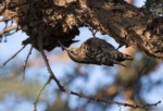 Indian Spotted Creeper