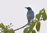 Sharp-tailed Starling