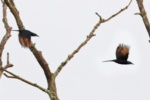 Chestnut-winged Starling