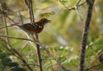 Orange-sided Thrush