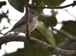 Little Grey Flycatcher