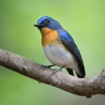 Indochinese Blue Flycatcher