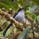 Fan-tailed Berrypecker