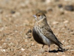 Grey-backed Sparrow-Lark