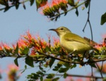 Little Green Sunbird