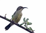 Black-bellied Sunbird