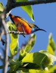 Flame-breasted Sunbird