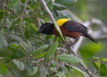 Yellow-mantled Weaver