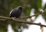 Grey-headed Nigrita