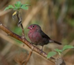 Bar-breasted Firefinch