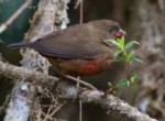 Mountain Firetail