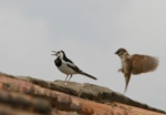 White-faced Wagtail