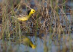 Citrine Wagtail
