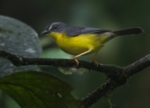 Grey-and-gold Warbler