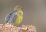 Bright-rumped Yellow Finch
